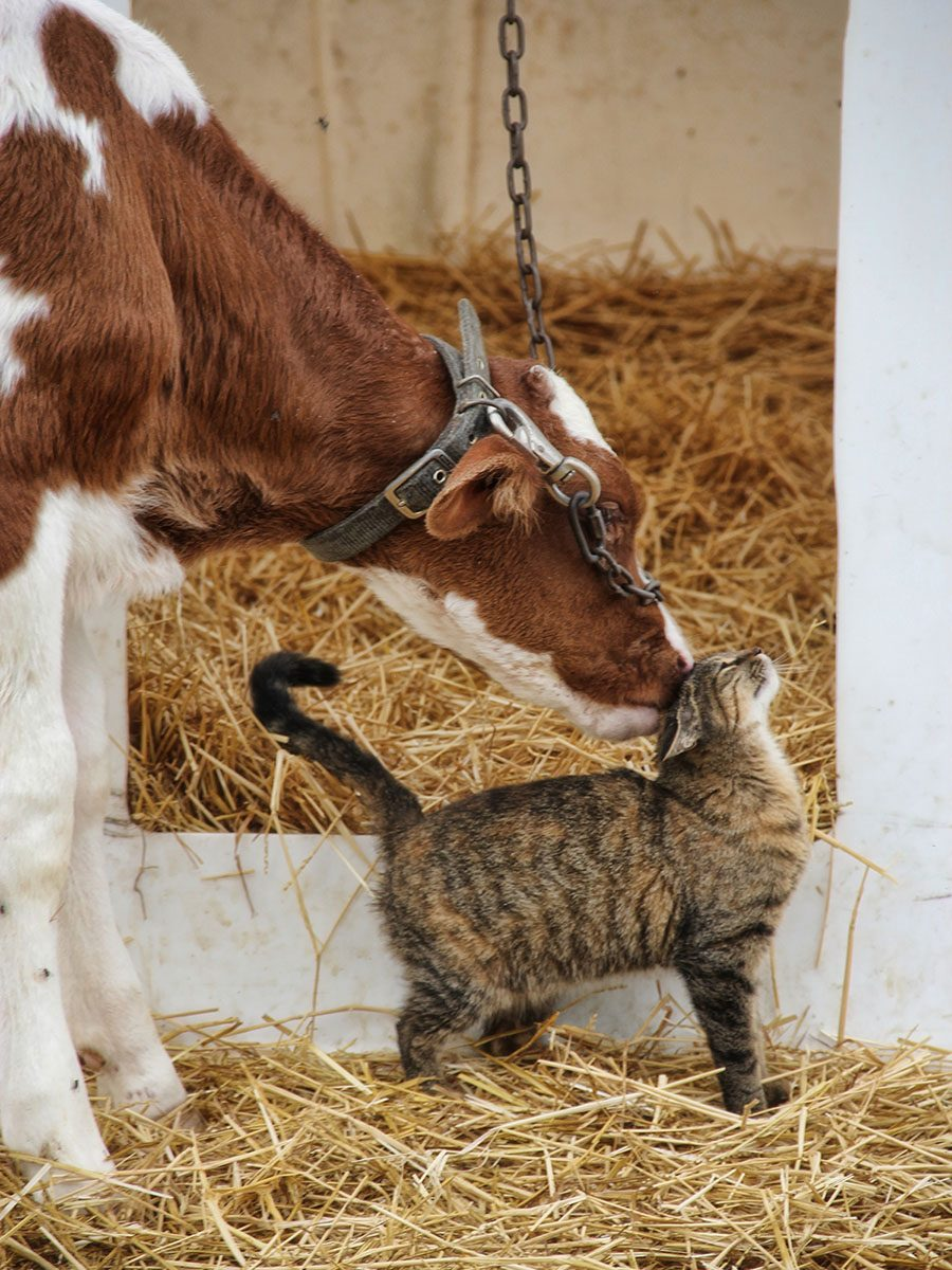 Cow and kitten on a farm