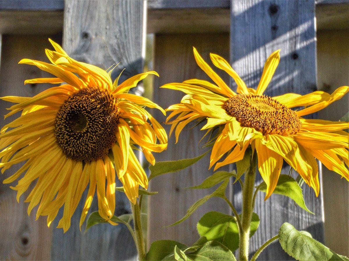 Sunflowers in yard