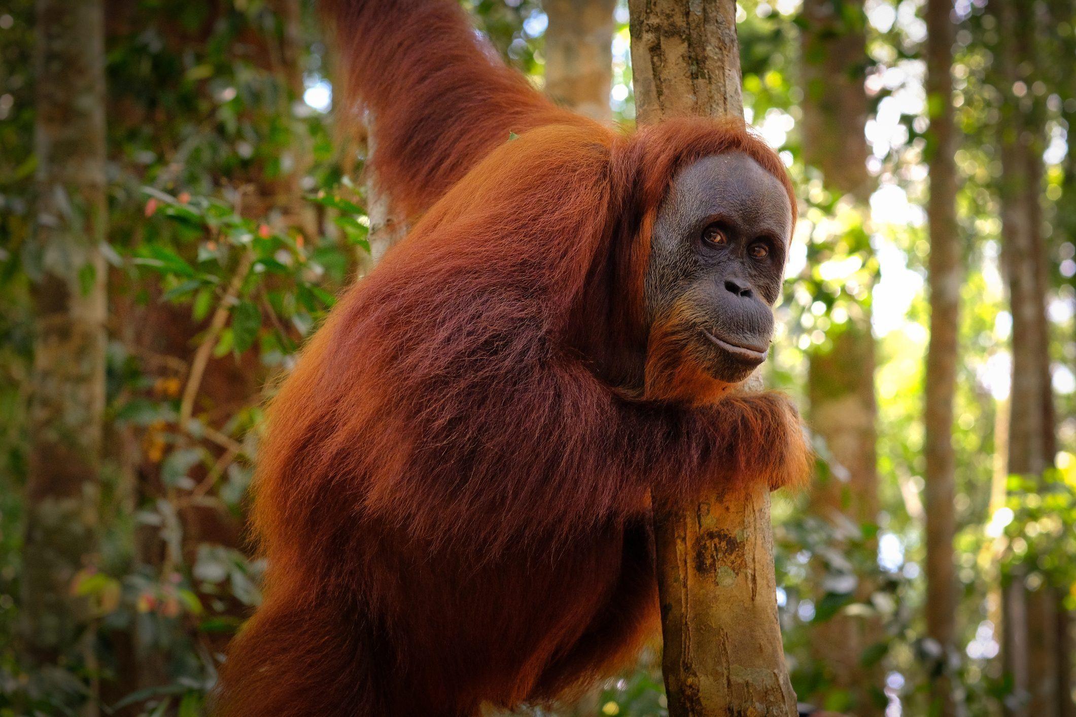 Orangutan posing
