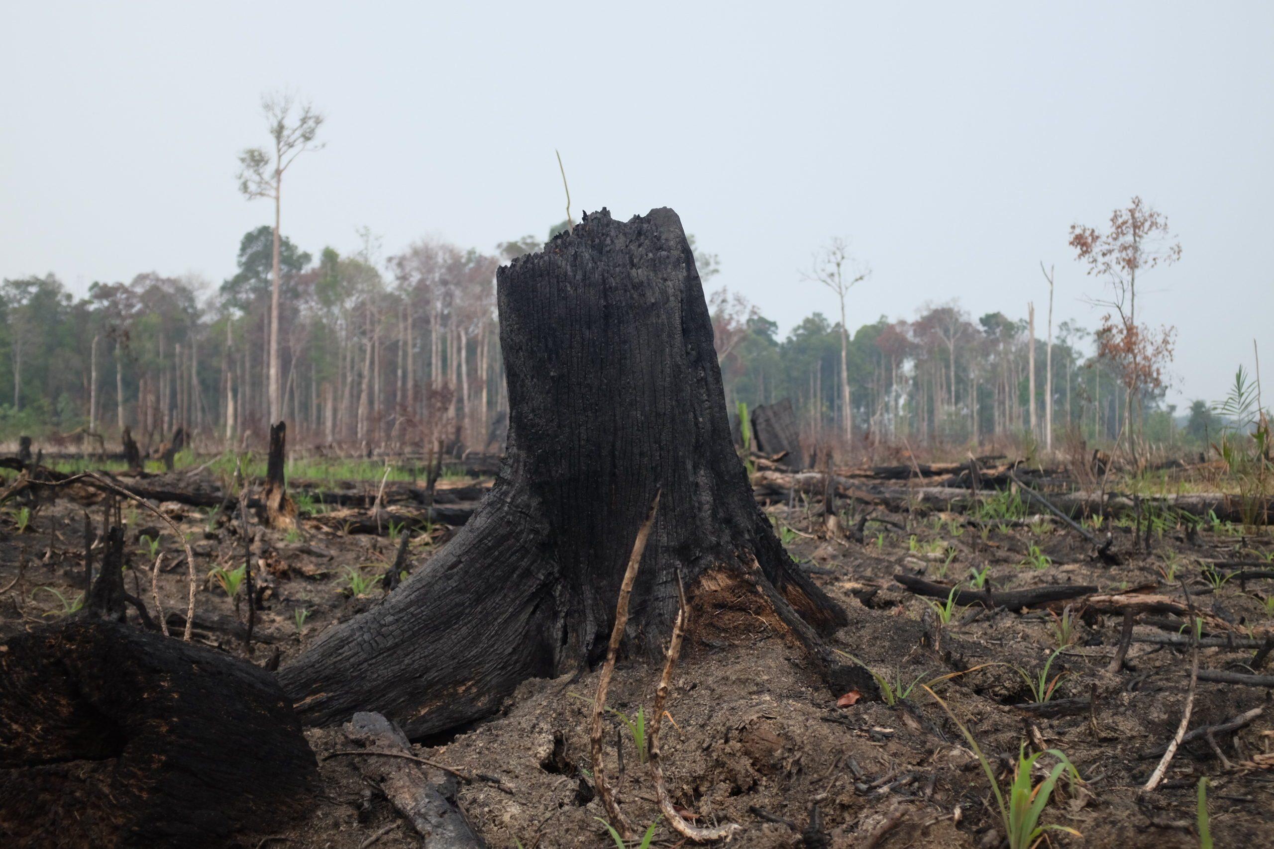 Forest Fire in Tesso Nilo Sumatera Indonesia