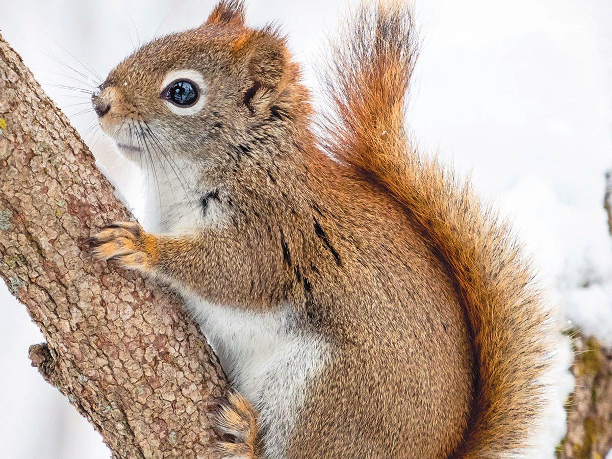 Winter in Ottawa - Squirrel In Winter