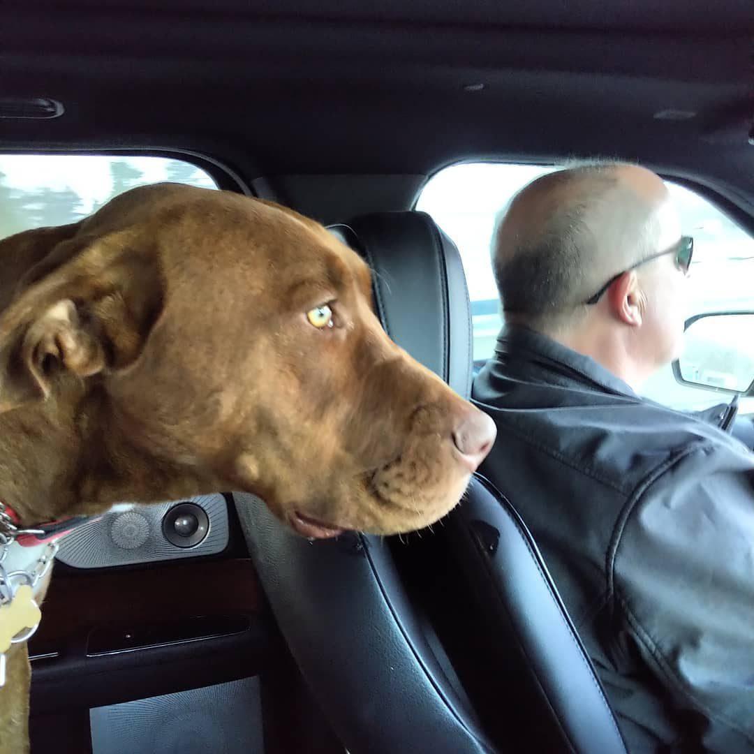 Pandemic Pet Adoption - Brown dog in car