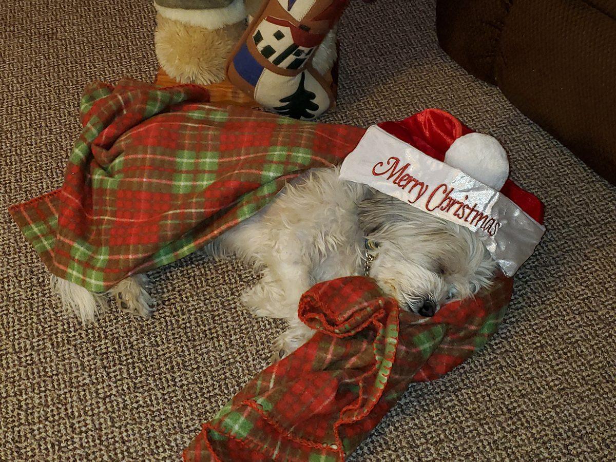 Pandemic Pet Adoption - Charlie at Christmas