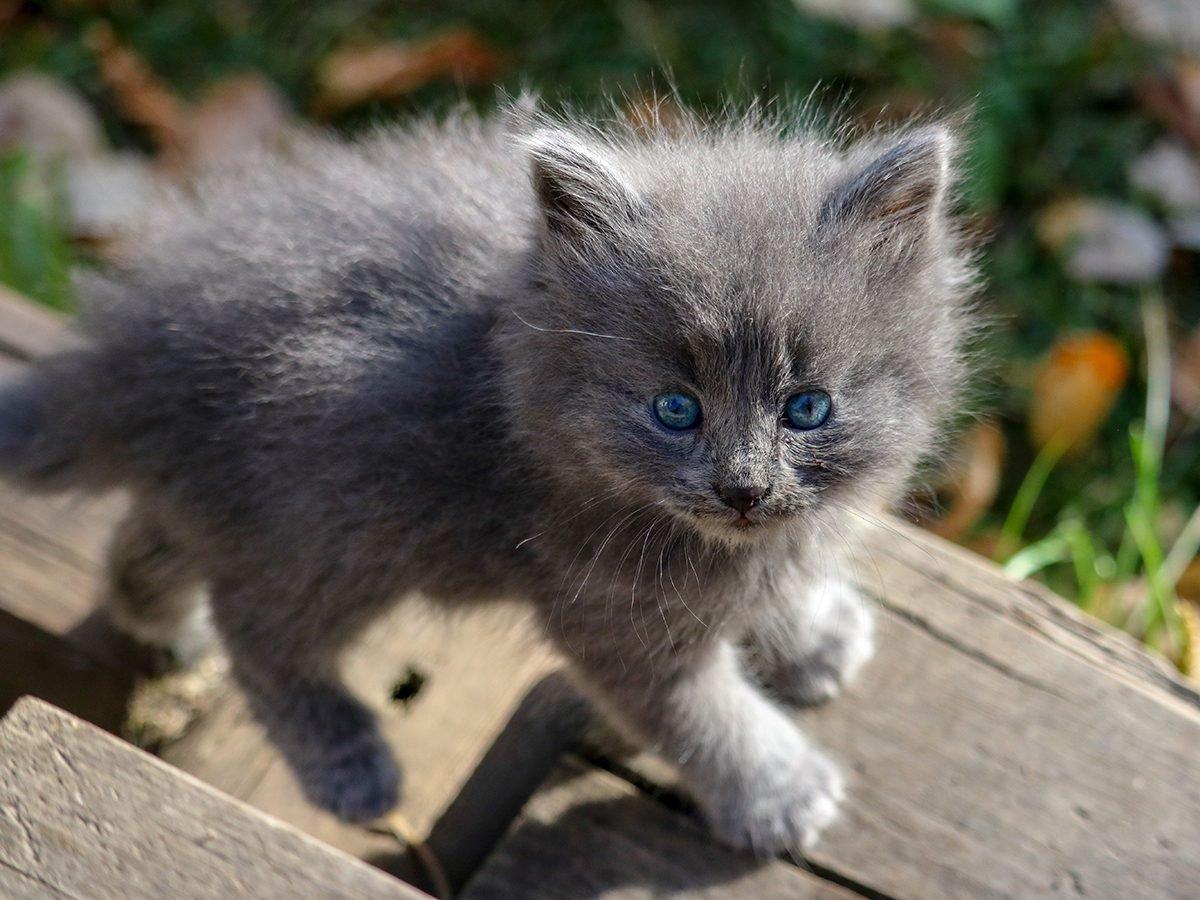 Pandemic Pet Adoption - Grey Kitty