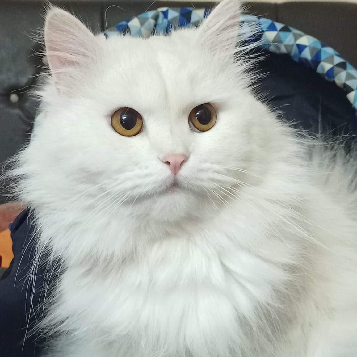 Pandemic Pet Adoption - White Cat