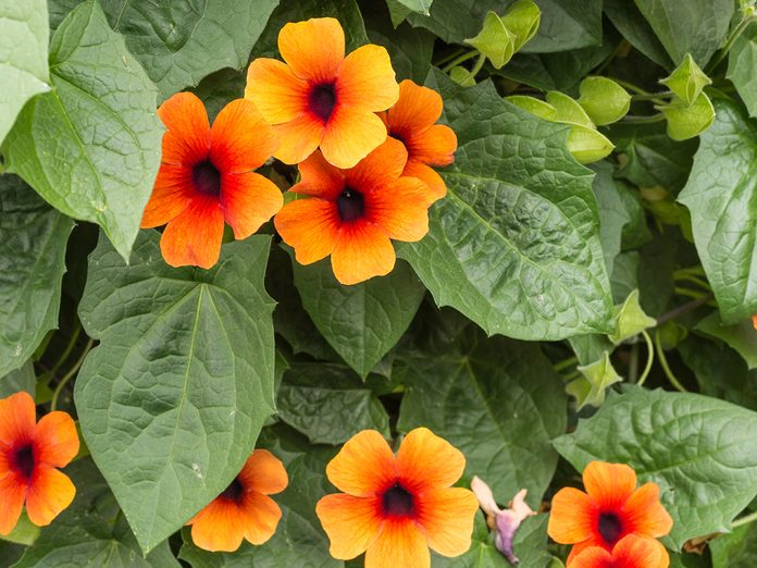 Annual flowers for pots - thunbergia (black eyed susan vine)
