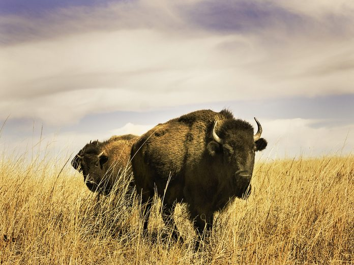 Earth Day Quiz - Plains Bison