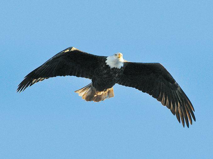 St Martins New Brunswick - Bald Eagle