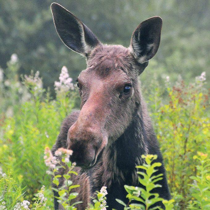 St Martins New Brunswick - Moose