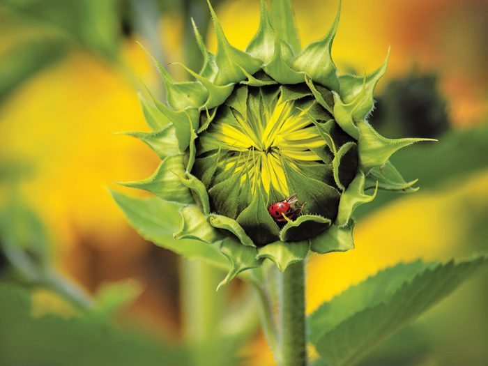 Our Canada Share Your Canada Photo Contest Lady Bug - Ladybug on sunflower