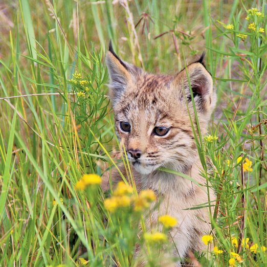 A baby lynx in the grass
