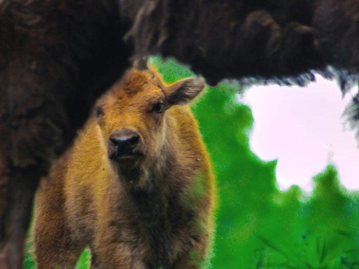 Alaska Adventure Baby Bison