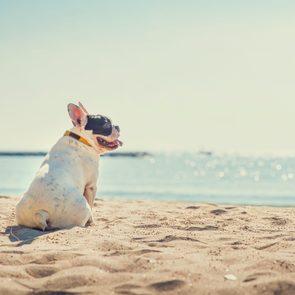 Heat stroke signs in dogs - French bulldog on summer beach