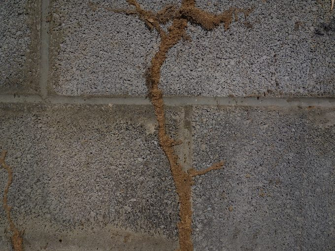 signs of termites - mud tubes