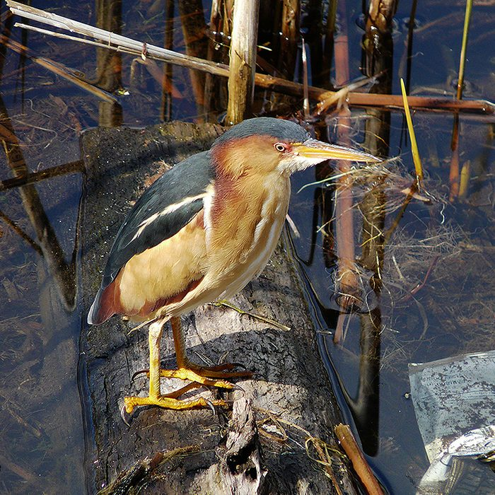 Birds Of Canada - Least Bittern