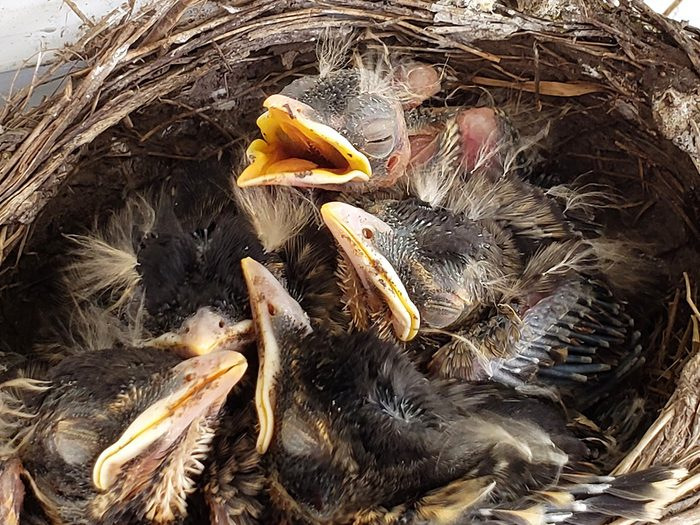 Birds Of Canada - Baby Robins Nest