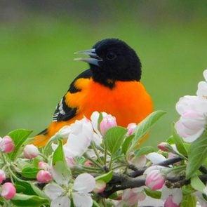 Birds Of Canada - Baltimore Oriole