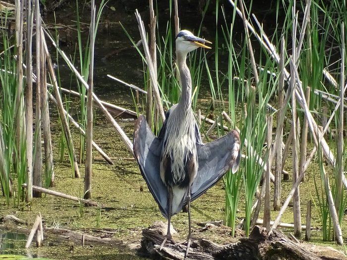 Birds Of Canada - Blue Heron