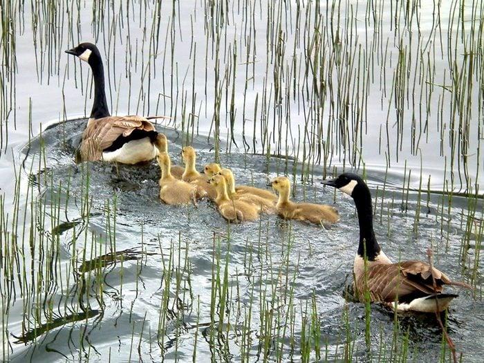 Birds Of Canada - Canada Goose