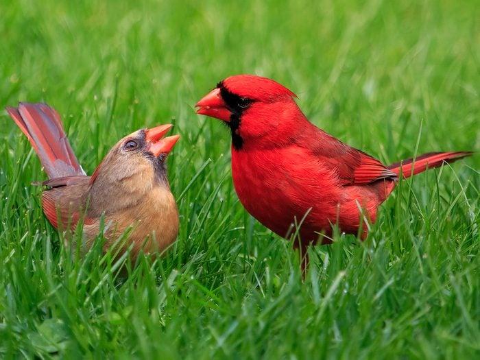 Birds Of Canada - Cardinals - Courtship Feeding