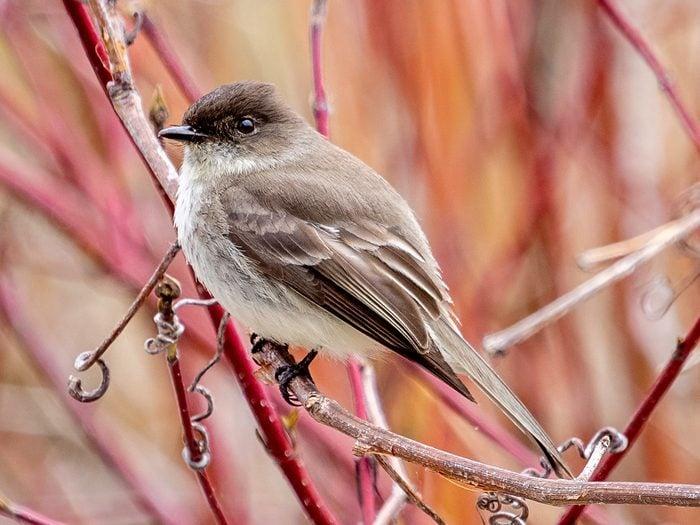 Birds Of Canada - Eastern Phoebe