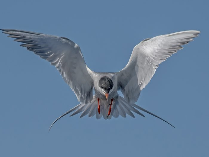 Birds Of Canada - Forsters Tern
