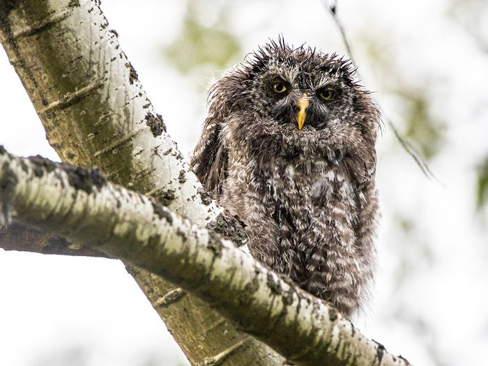 Birds Of Canada - Great Grey Owl Fledgling