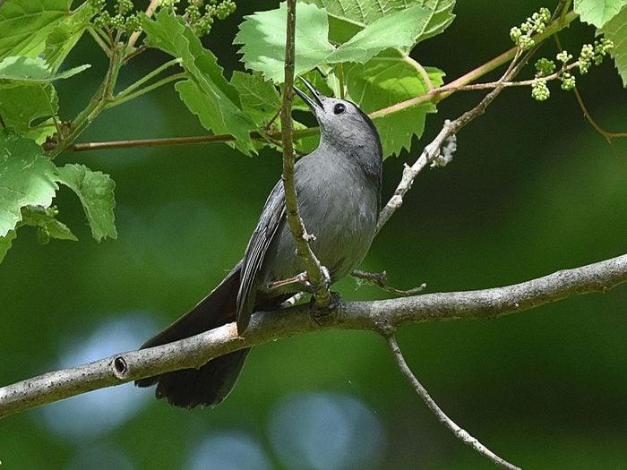 Birds Of Canada - Grey Catbird