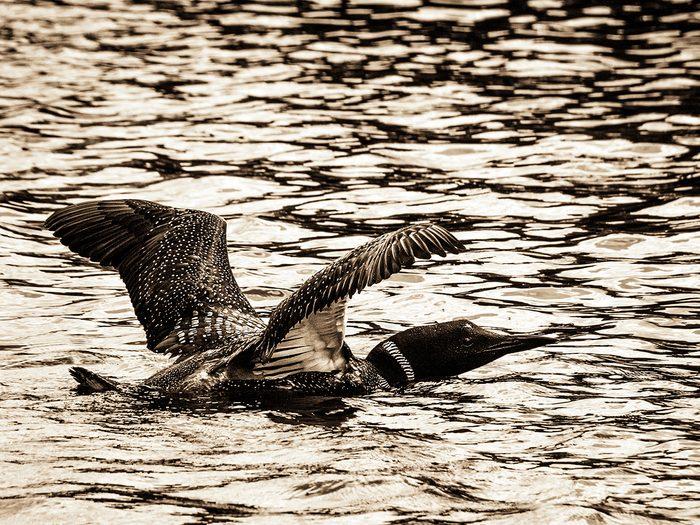 Birds Of Canada - Loon