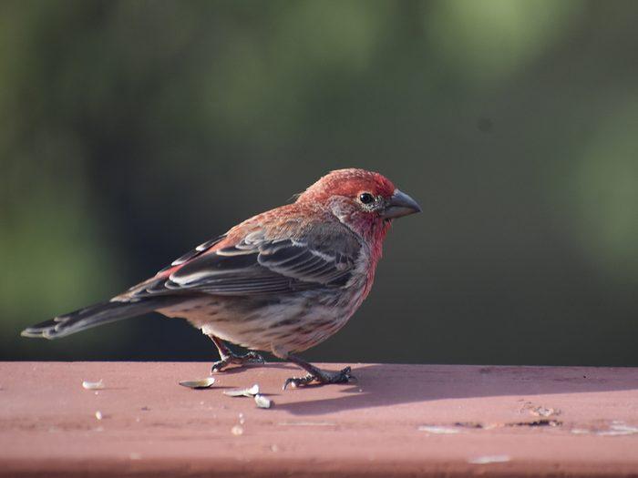 Birds Of Canada - Purple Finch