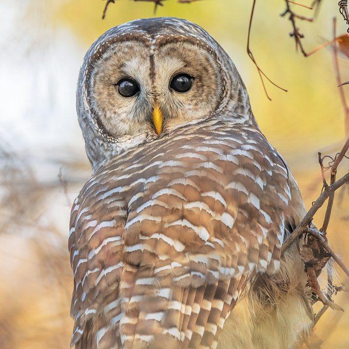Okanagan Birds - Barred Owl