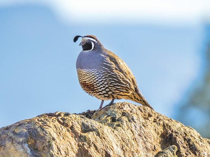 Okanagan birds - California quail