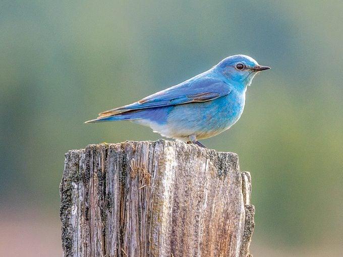 Okanagan birds - Mountain bluebird