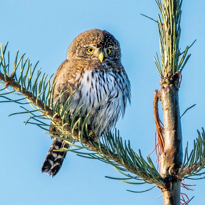 Okanagan birds - pygmy owl