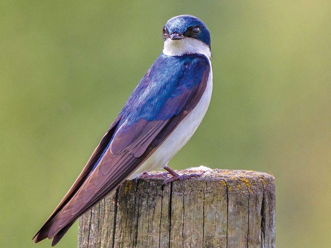 Okanagan birds - tree swallow