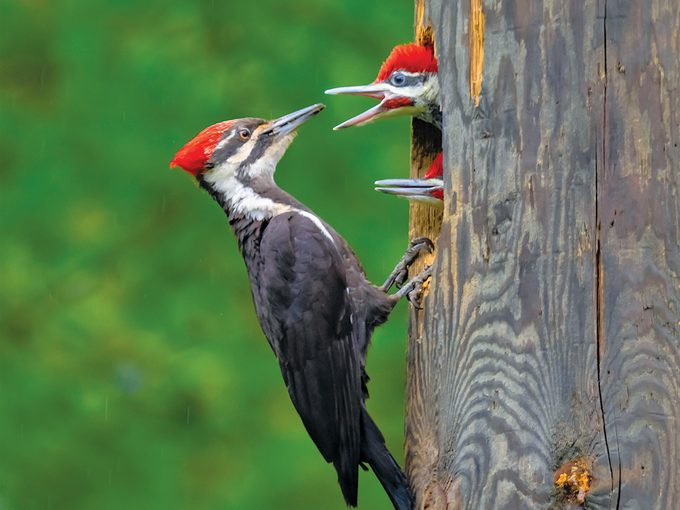 Pileated Woodpecker Facts - Female pileated woodpecker feeding two chicks