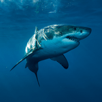 How Ocean Researchers Are Figuring Out the Secrets of the White Shark