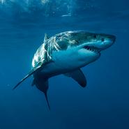 Twitter Sharks Feature