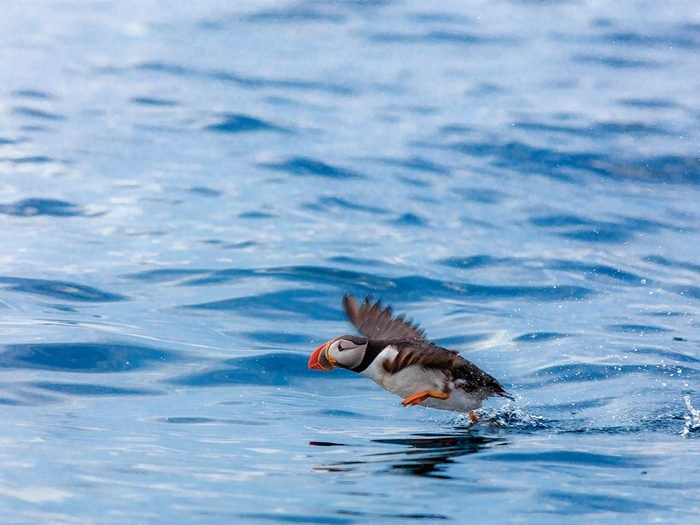 A puffin flying over the Newfoundland water