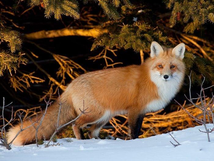 Red Fox, Prince Edward Island National Park