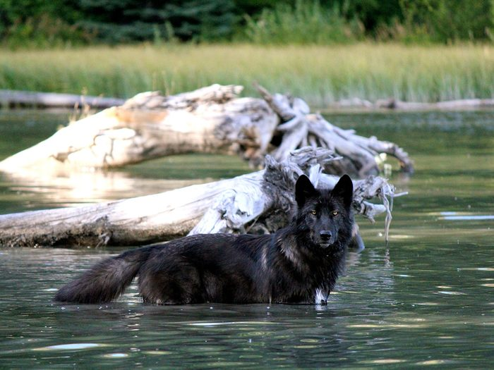 Wolfdogs (Yamnuska Wolfdogs in Rocky View County