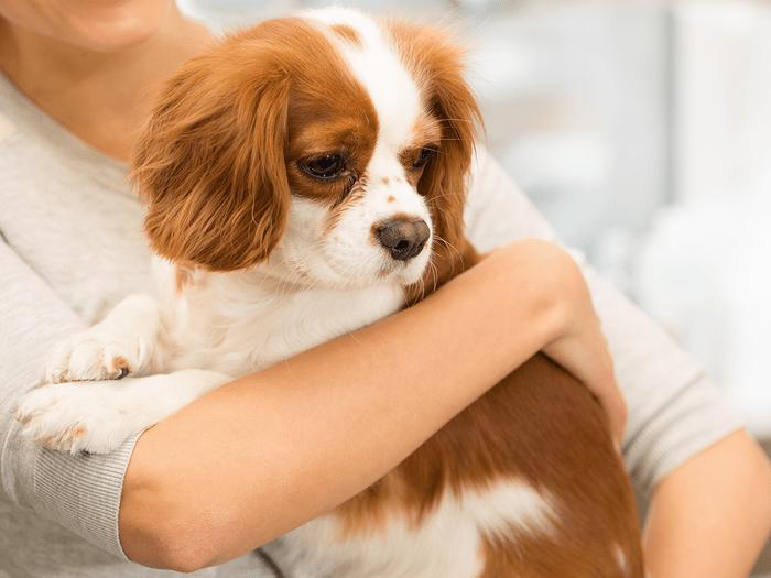 Best Dogs For Seniors Cavalier Kind Charles Spaniel