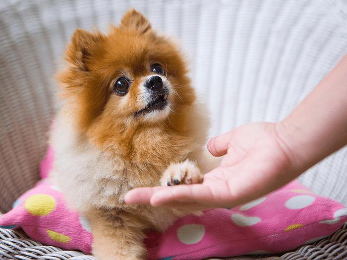 Best Dogs For Seniors Pomeranian