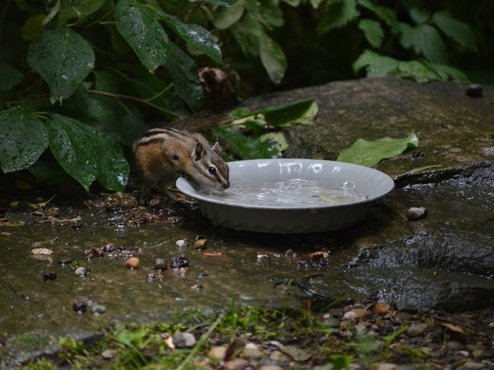 Candid photography - Chipmunk sneaking a drink