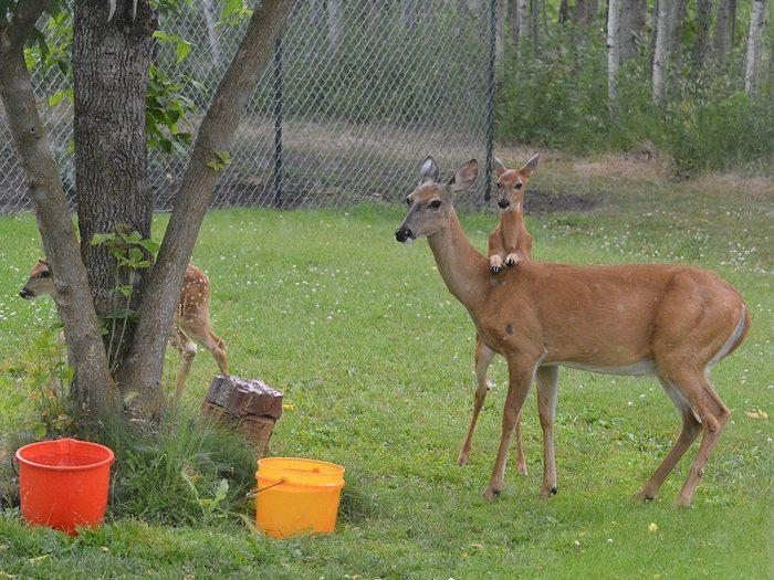 Candid photography - Deer piggyback