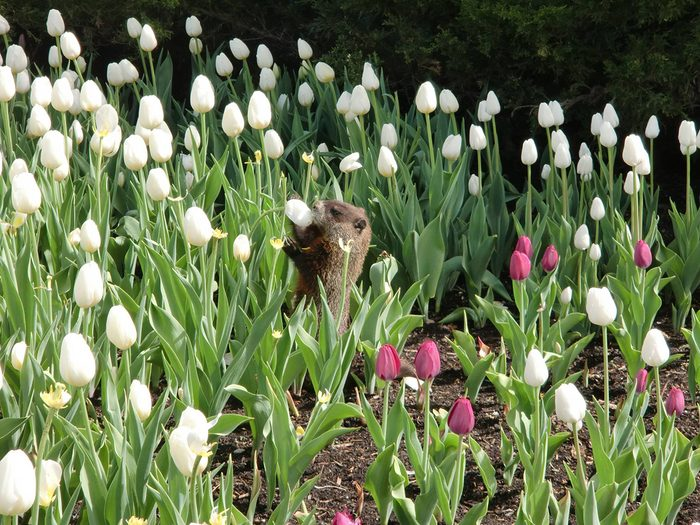 Candid photography - Groundhog in tulips