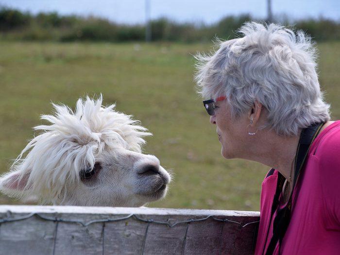 Candid photography - Llama alpaca encounter