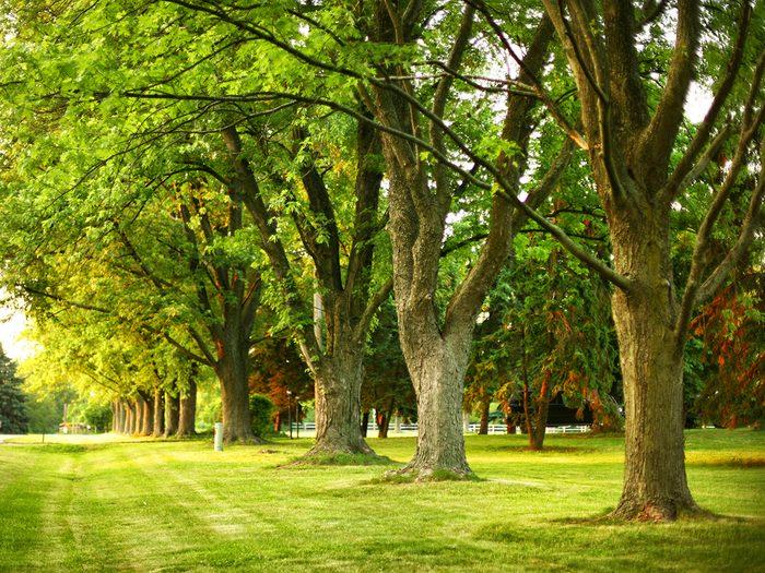 Healthy oak trees in a row