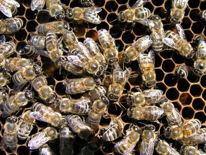 Honeybees cluster