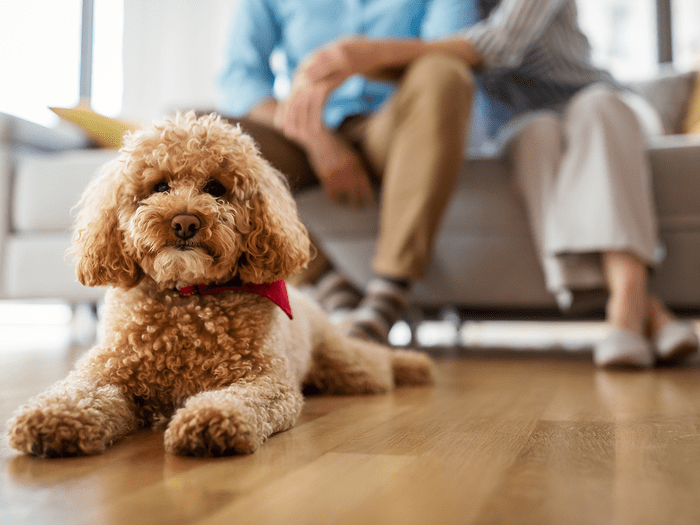 Hypoallergenic Dog Toy Poodle